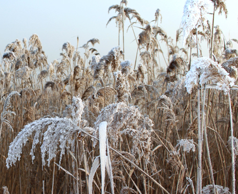 Snow-like Reed Catkins